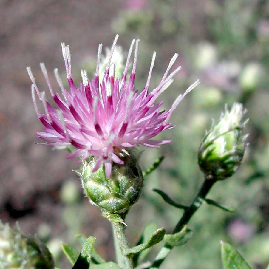 Russian knapweed flower heads