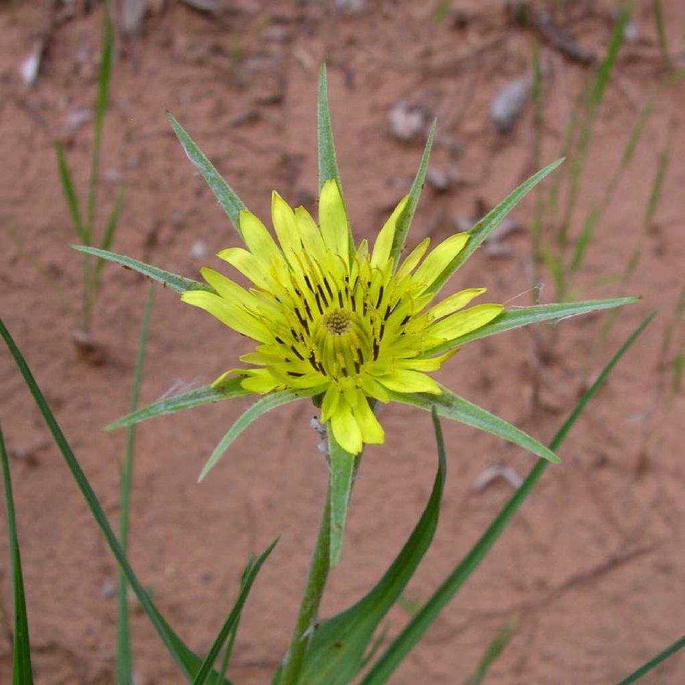 Salsify flower head