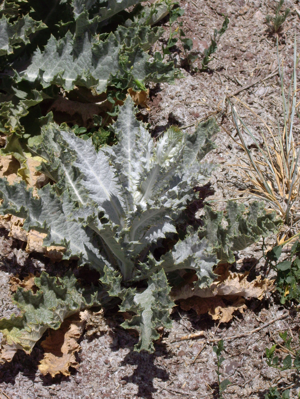 Scotch thistle basal rosette