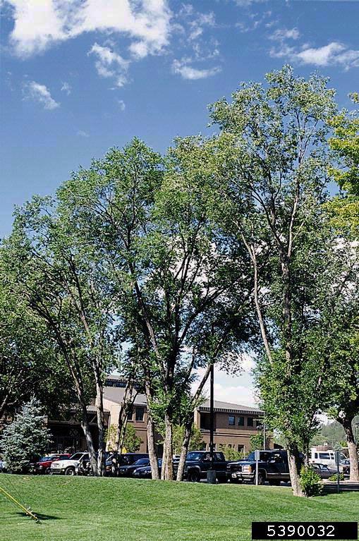 Siberian elm habit