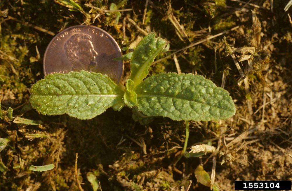 Teasel seedling