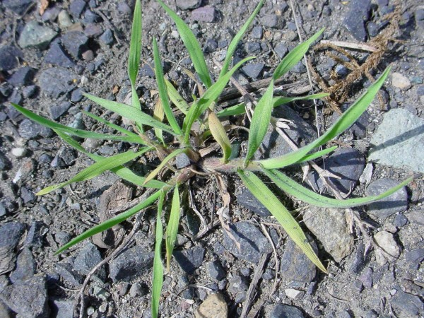 Immature cheatgrass