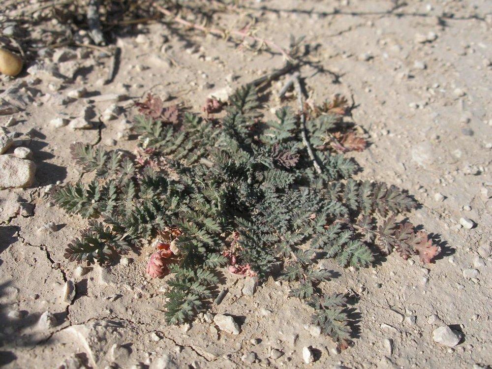 Filaree basal rosette