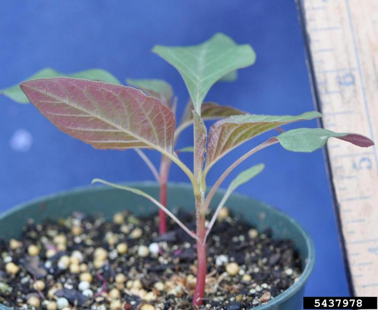Palmer amaranth seedling