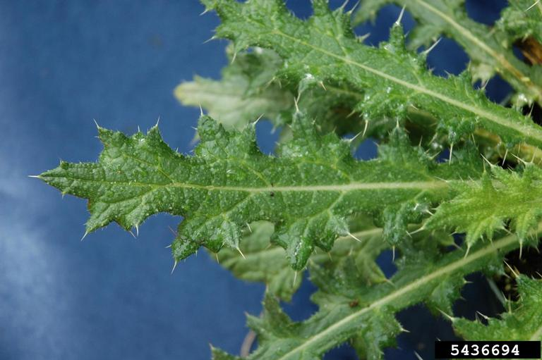 Bull thistle leaves