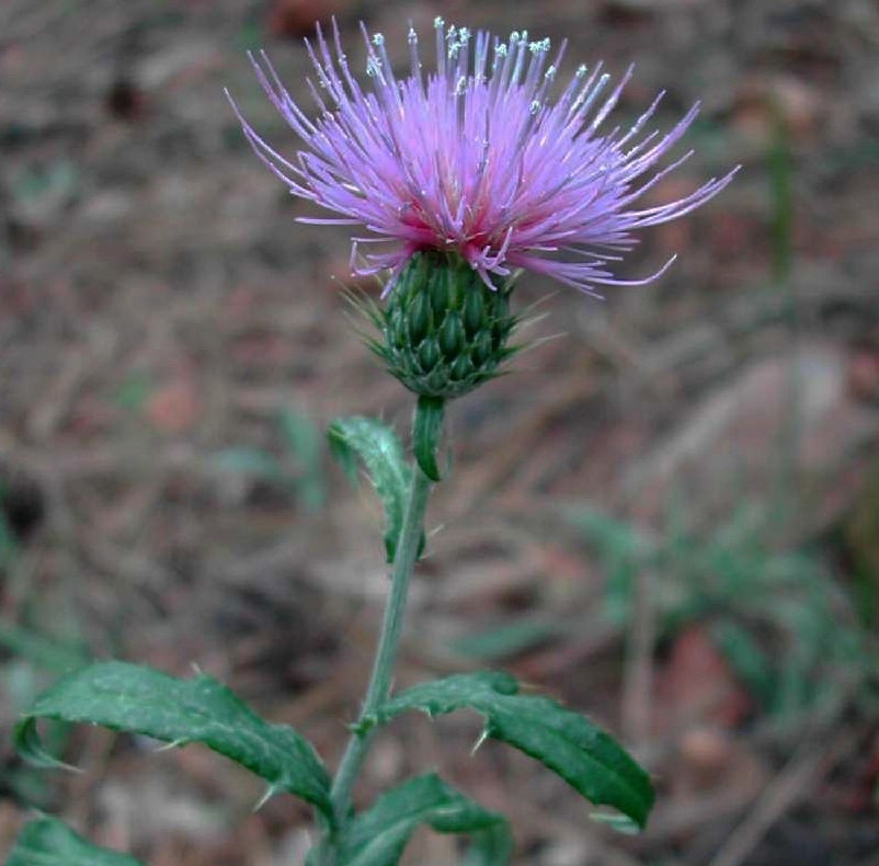 Wheeler thistle