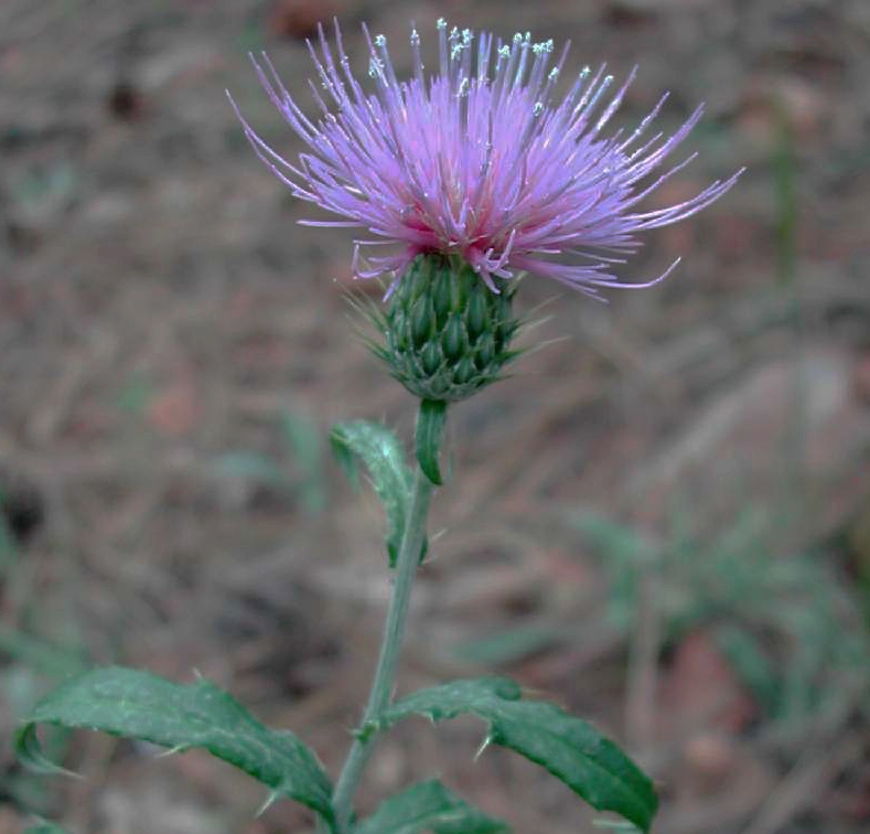 Wheeler's thistle