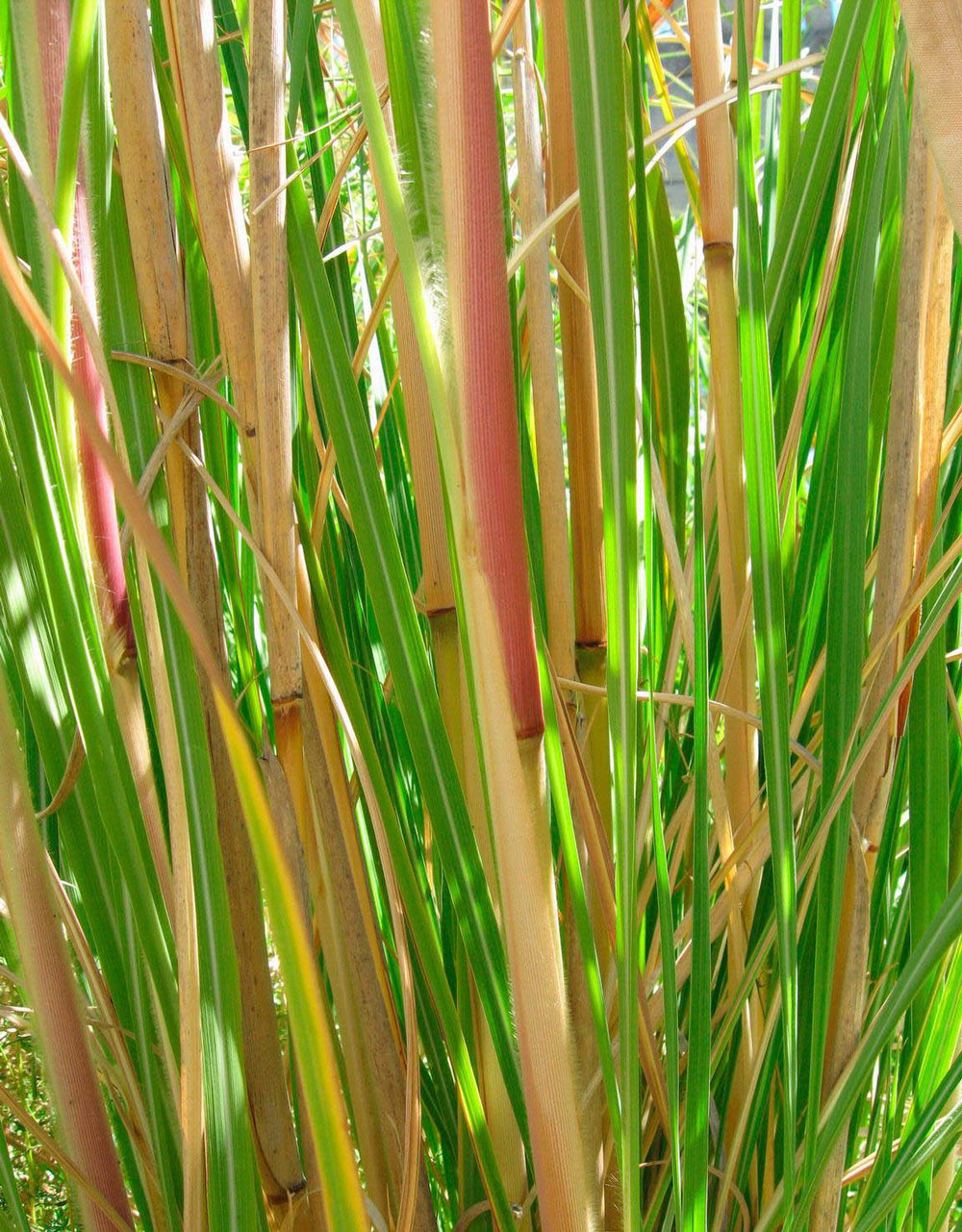 Ravenna grass stems