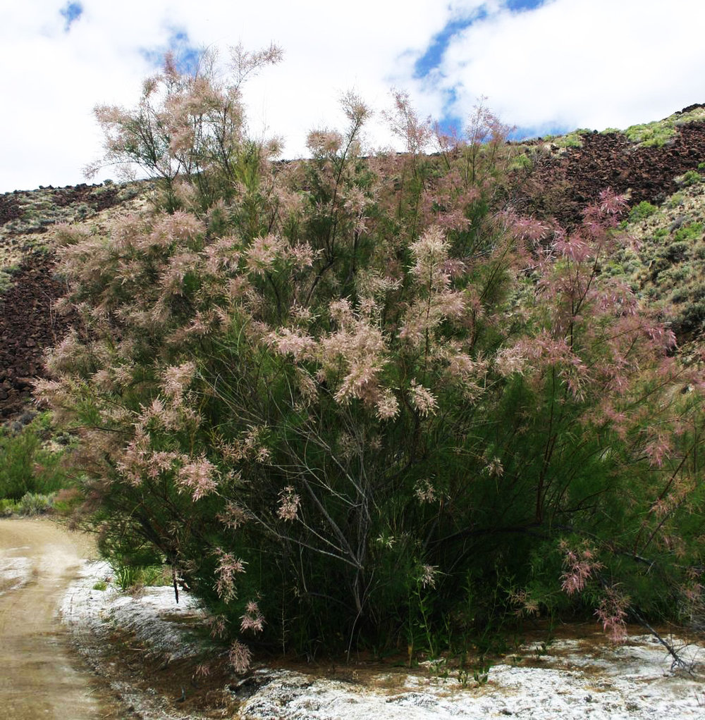 Tamarisk with flowers