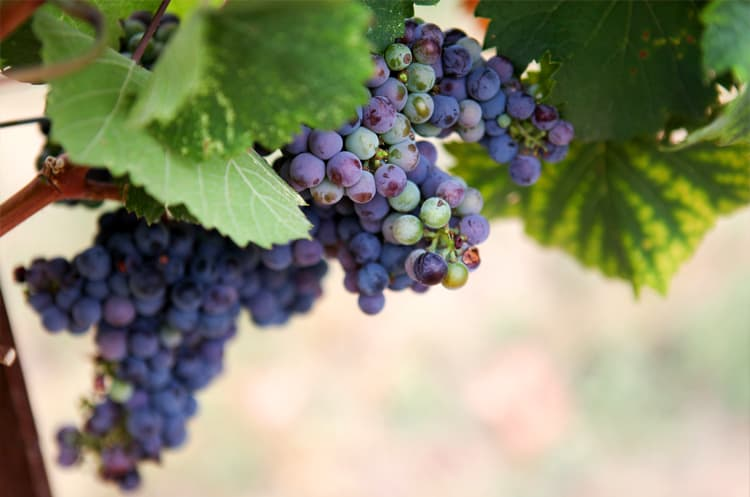 wine-grapes.jpg