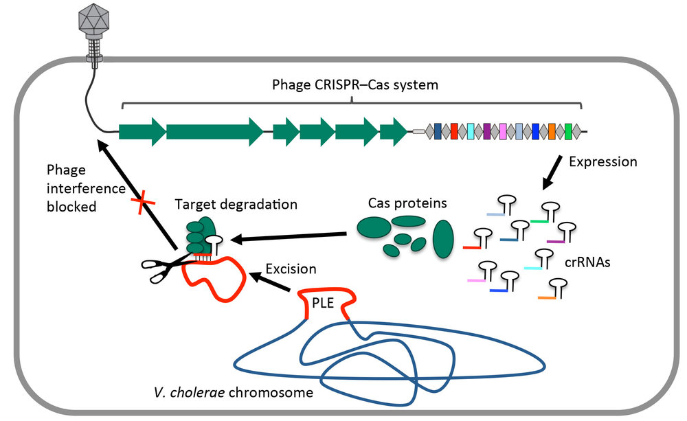 After the viral DNA is injected into the cell, the crRNAs and Cas proteins are expressed and complex to target the V. cholerae antiviral PLE for destruction. With the PLE destroyed, the phage can go on to complete its lytic lifecycle.
