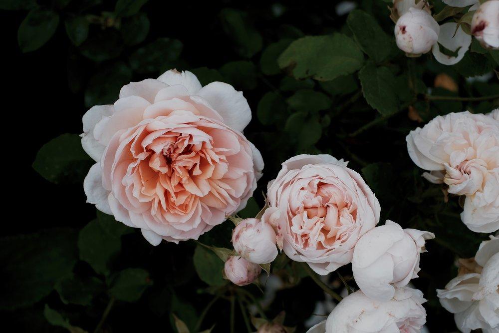 rosor är rosor - akvarell i 70 x 50 cm, 526 krKÖP