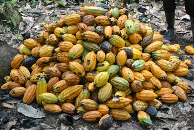 STACKED COCOA PODS, GHANA