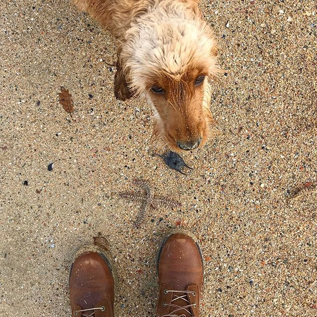 Beach finds: A starfish and a shark egg. Please ignore Bailey's ridiculous haircut. I made a mistake, I've repented, it will never happen again. —- #cornwall #atlanticocean #englishcockerspaniel #cockerspaniel #kernow #newquay