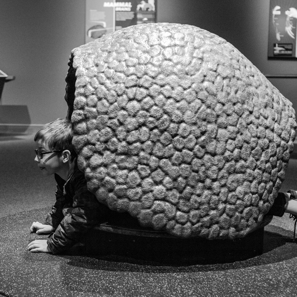 a boy plays in a massive tortoise shell at the Denver Museum of Nature and Science. | Denver family photographer