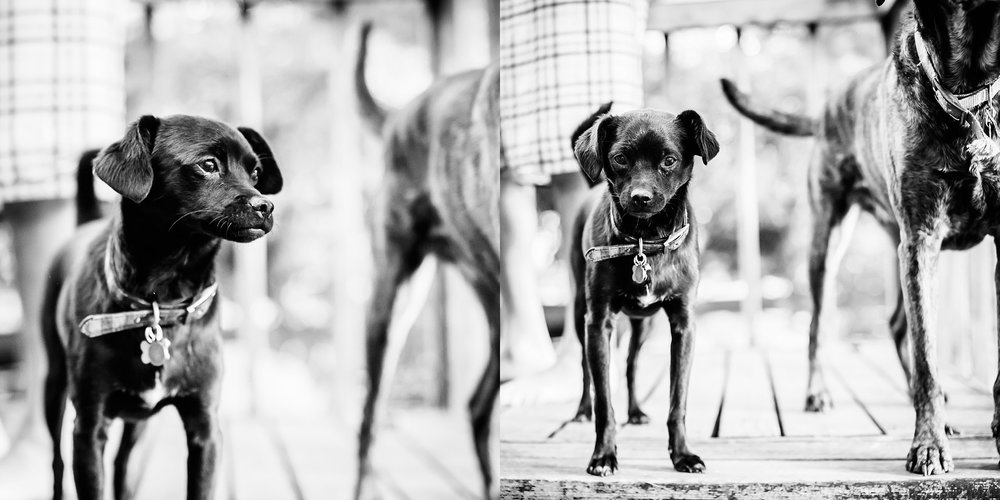 A black chihuahua terrier rescue dog stands next to a plotthound rescue dog in Denver, Co as photographed by Kristiina Craven Photography.