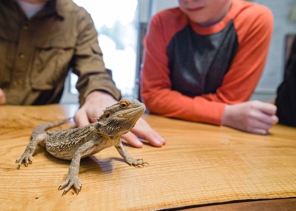 A bearded dragon sits on our dining room table during a mini-class from a reptile expert! | GettingUnschooled.com | Week in the Life of an Unschooler
