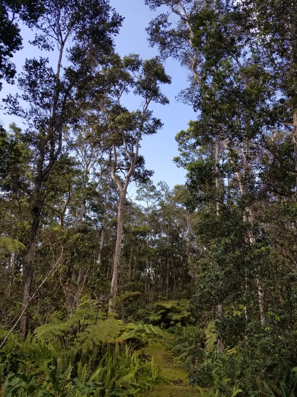 Kona cloud forest, Kaloko, Hawaii