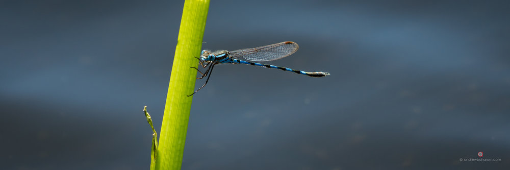 Bibra Lake Dragonfly
