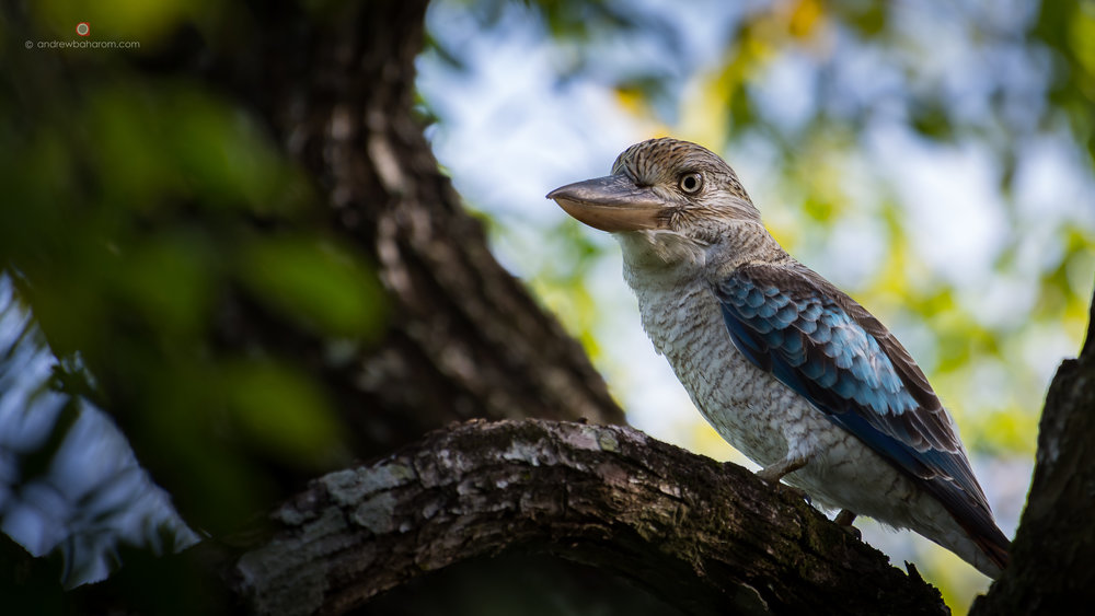 Blue Winged Kookaburra.jpg
