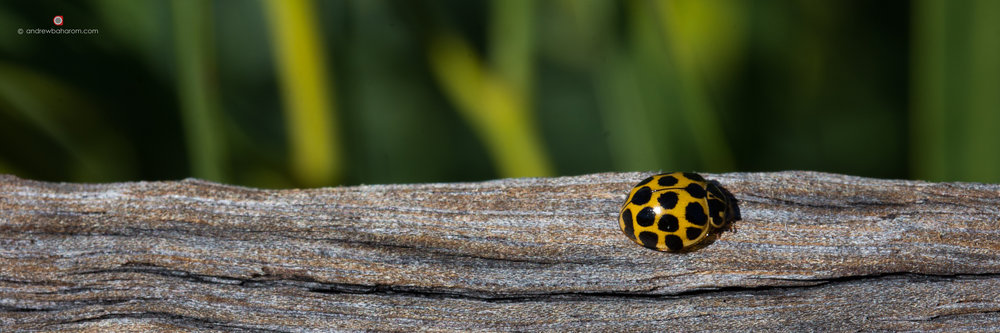 Yellow Lady Bird.jpg