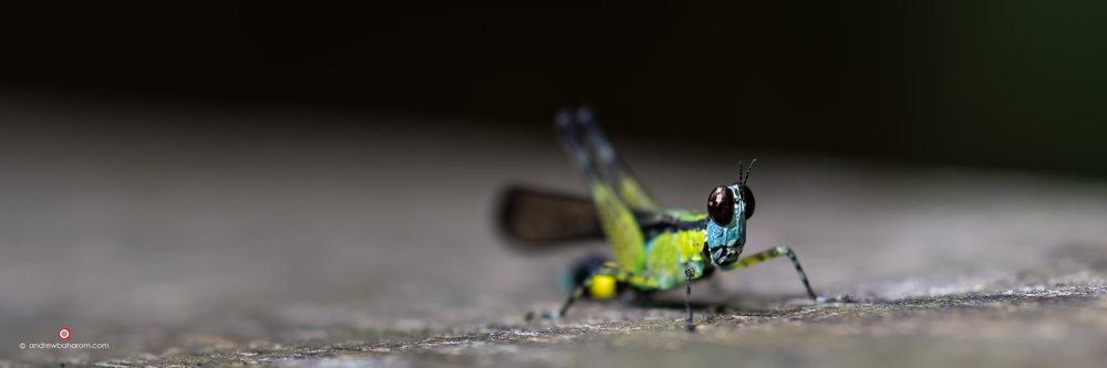 Grasshopper - Malaysia.jpg