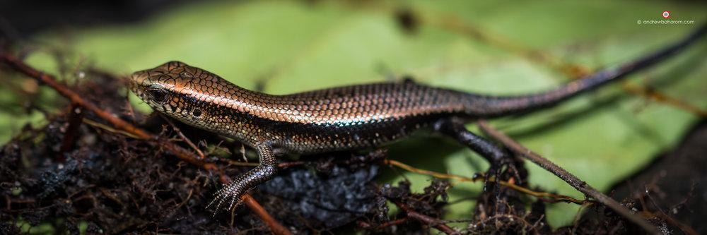 Lizard - Malaysia.jpg