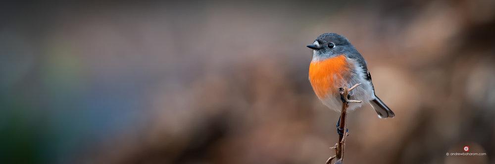 Scarlet Robin Female.jpg