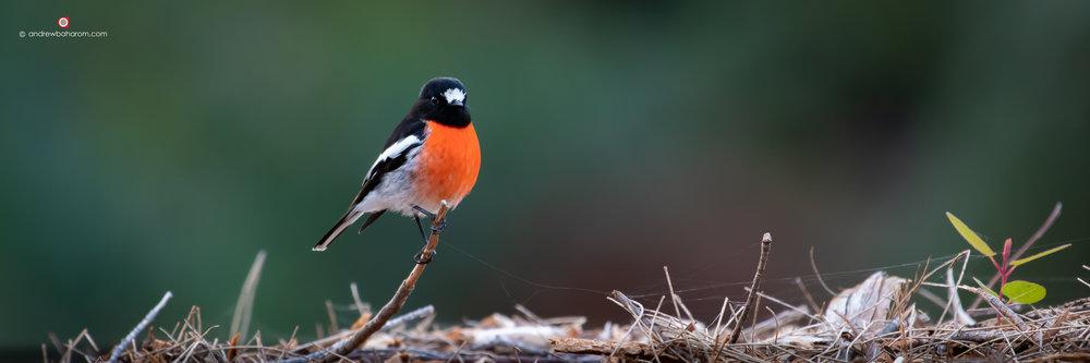 Scarlet Robin Male.jpg