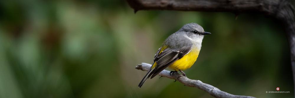 Western Yellow Robin.jpg