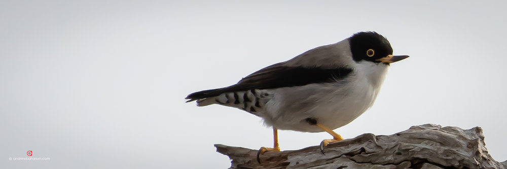 Black Capped Sittella.jpg
