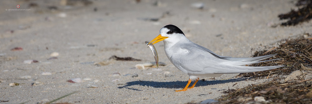 Point Walter Fairy Tern.jpg
