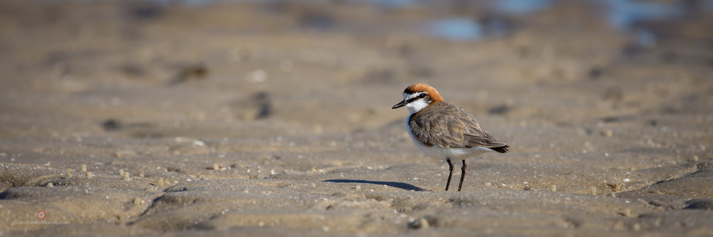 Point Walter Red Capped Plover.jpg