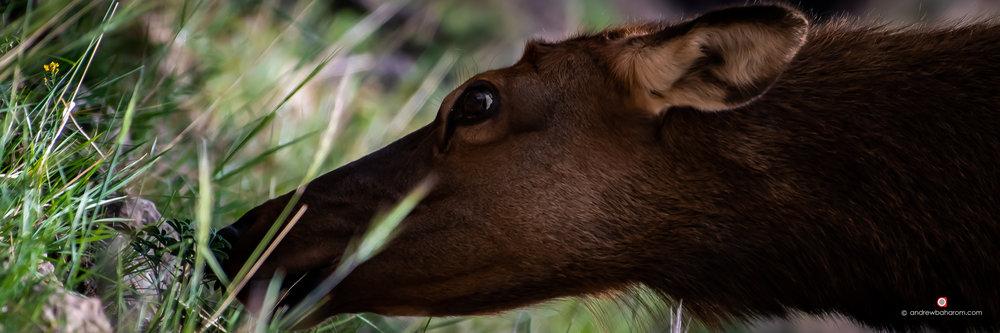 Elk Feeding.jpg