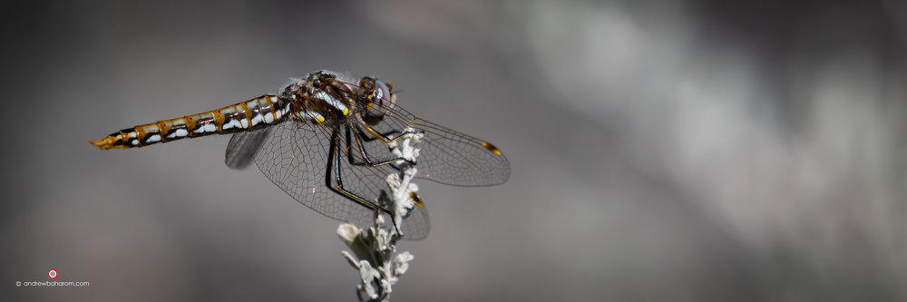 Gold & Yellow Dragonfly.jpg