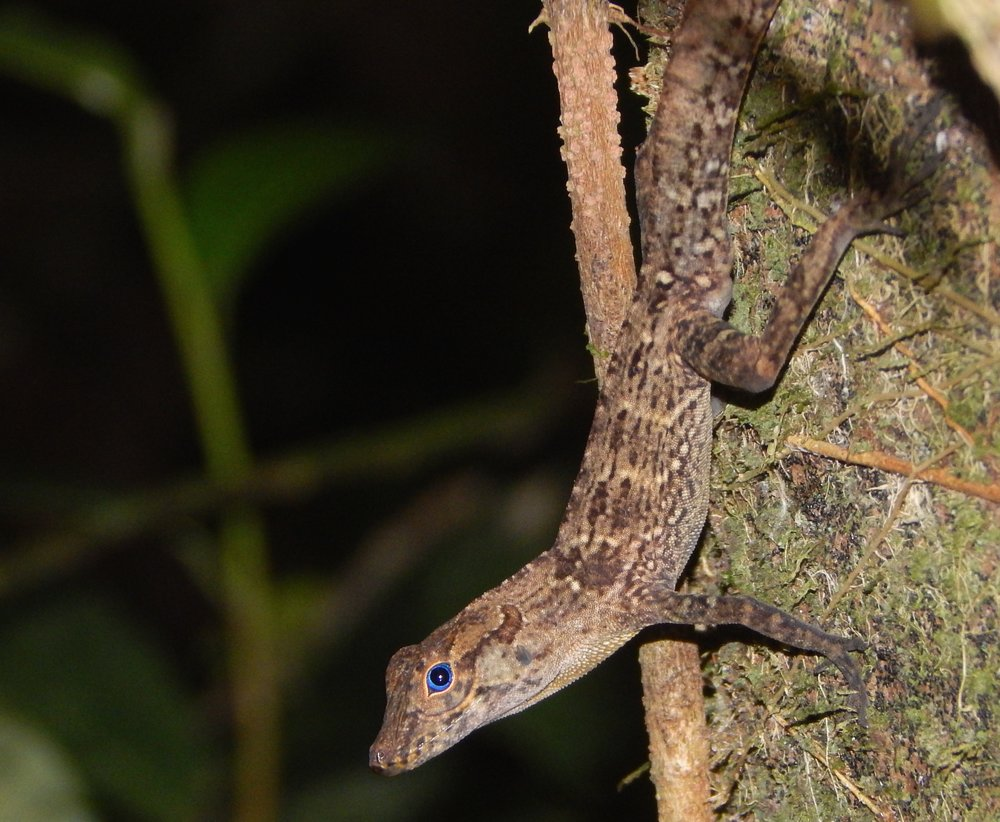 The Puerto Rican yellow-chinned anole (Anolis gundlachi) has low heat tolerance relative to most other Puerto Rican species.