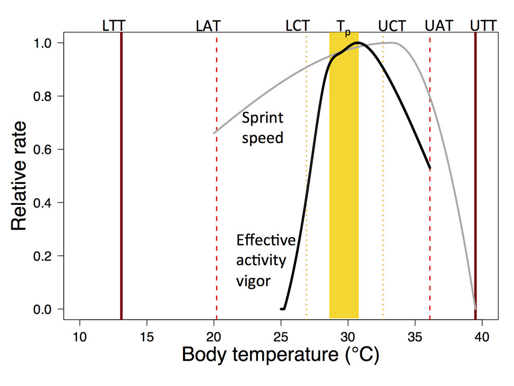 A summary of thermal physiology and behavior in a lizard. Behavior is generally more temperature sensitive than physiology (Gunderson and Leal 2015  Am Nat  & 2016  Ecology Letters ).