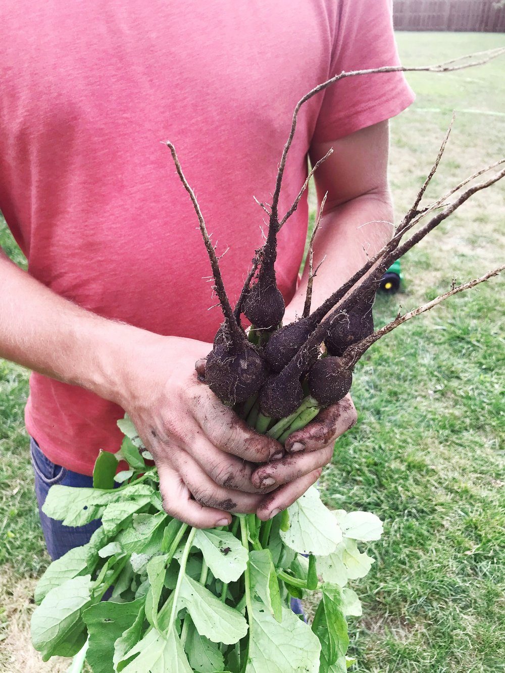 Our first season growing black radishes