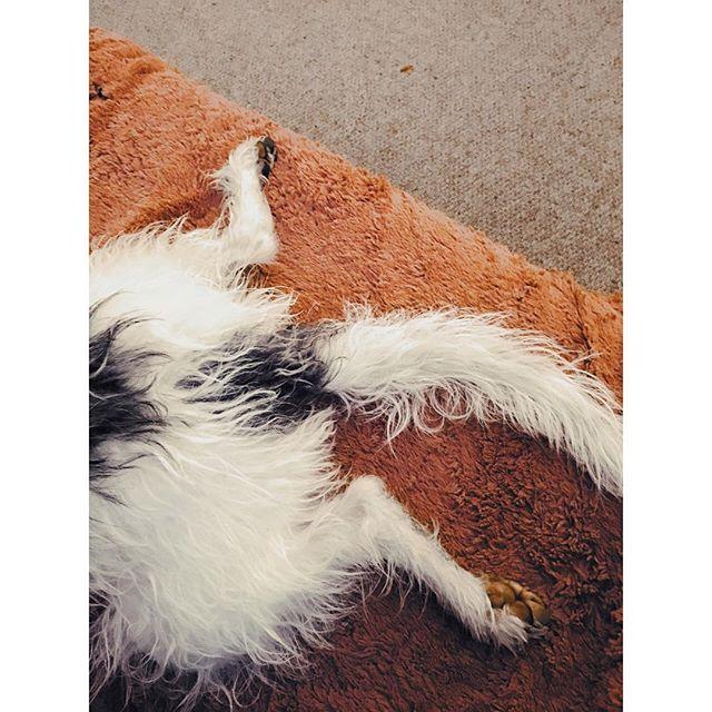E R N I E • • #bedlingtonwhippet #dogsofinstagram #whippetsofinstagram #beddywhippet