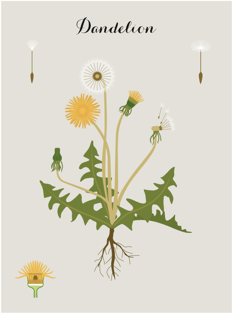 dandelion-fullpg.png