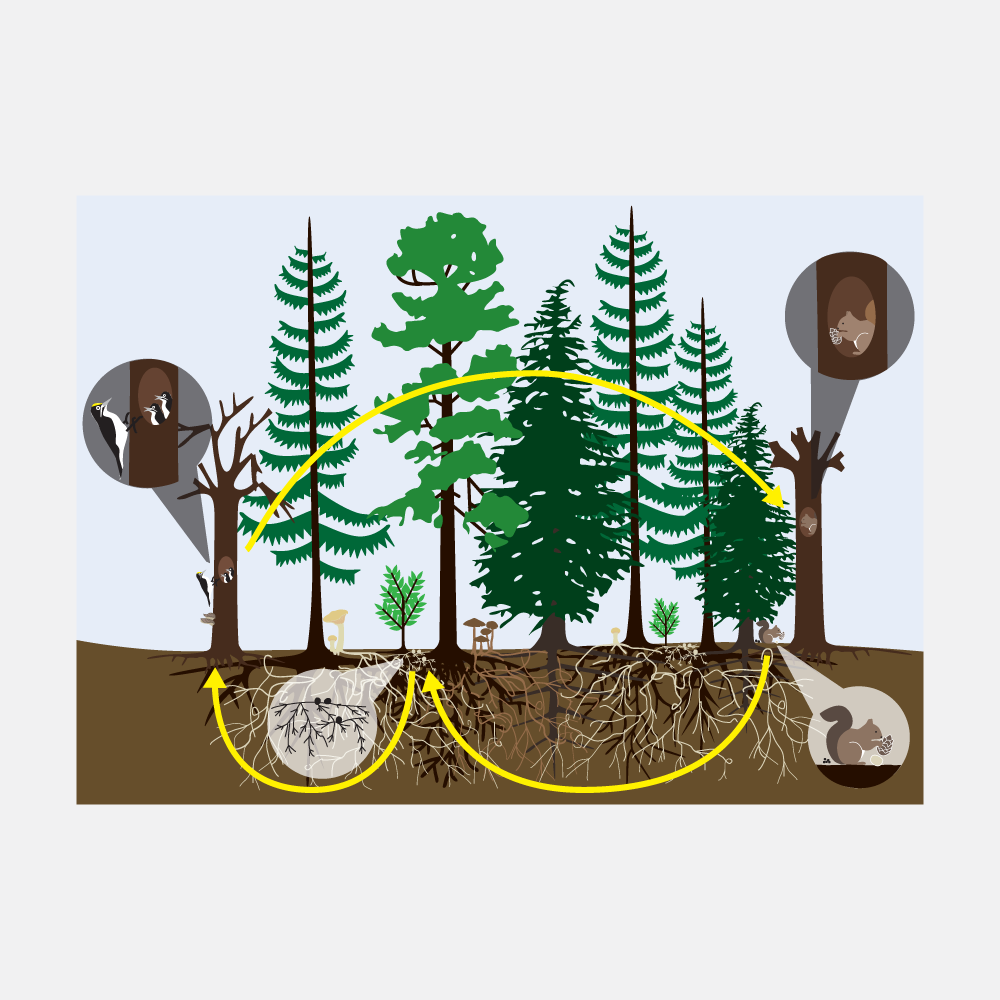 Illustration for a forest science book