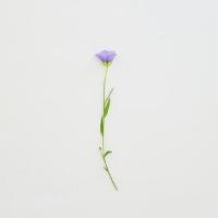 Flax: Linum usitatissimum