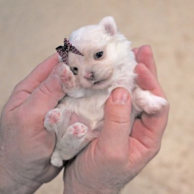 Tiny-Maltese-pup-1.jpg
