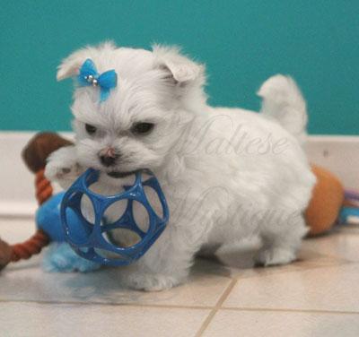 Tiny_Maltese_puppy_B4.jpg