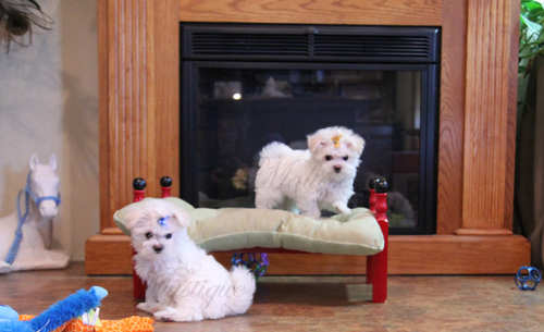 two_Maltese_Pups_ play 2.jpg