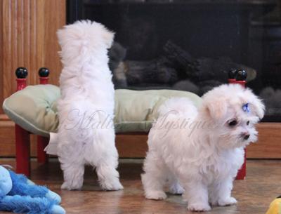 two_Maltese_Pups_ play 3.jpg