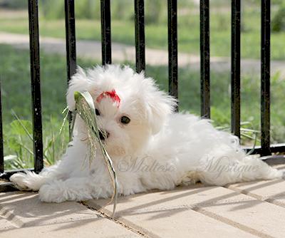 Maltese-Puppies-Brandy-E20.jpg