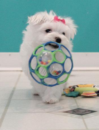 Cute_Maltese_Puppy_P2.jpg
