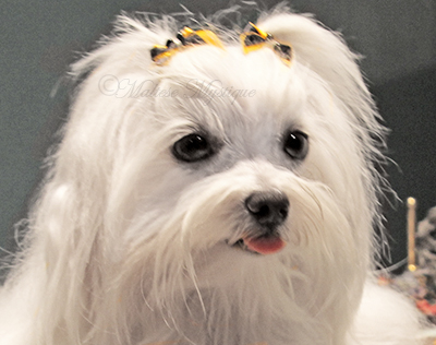 Maltese-Mystique-Dog-Penny 1.jpg