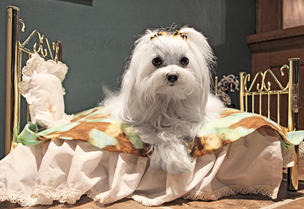 Maltese-Mystique-Dog-Penny-2.jpg